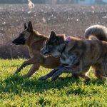 chiens à la campagne avec Julie Willems
