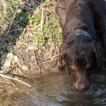 Labrador Chocolat buvant dans une flaque