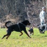 beauceron courant