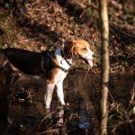 Beagle dans un ruisseau au soleil