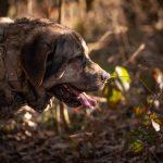 Croisé dogue de bordeau en forêt
