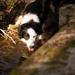Border Collie s'abreuvant au ruisseau