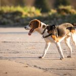 Beagle au soleil de profil