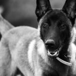 Malinois belle photo en noir et blanc