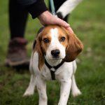 Chiot Beagle caressé