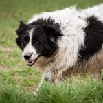 Border collie sale