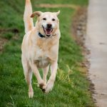Labrador sautant