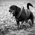 Rottweiler au bord des champs