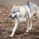 Chien-loup avançant d'un pas prononcé
