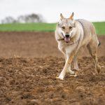 Chien-loup dans les champs