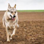 Chien-loup dans la terre
