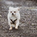 Chihuahua sur le chemin