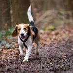 Beagle en forêt