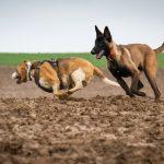 Beagle courant pour jouer