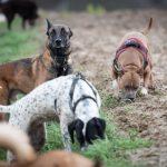 Chiens en promenade canine avec Julie Willems