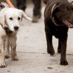 Chiot Golden Retriever et Labrador chocolat côte à côte