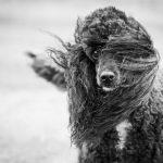 Caniche au vent