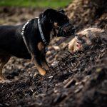 rottweiler dans les bois