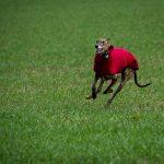 Galgo portant un manteau rouge