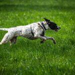 Braque qui court dans l'herbe