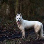Berger Blanc Suisse dans les bois