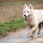 Berger Blanc suisse pleins de boue