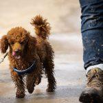 Caniche toy marchant avec promeneur