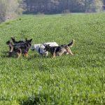 chiens qui courent dans l'herbe