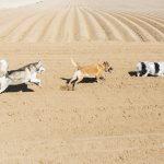chiens qui courent dans la terre