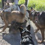 5 chiens qui jouent