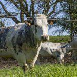Vache en prairie