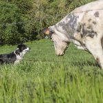 Chien versus vache