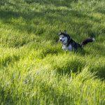 Husky dans les hautes herbes