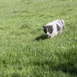 Border dans l'herbe