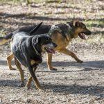 deux chiens en balade canine