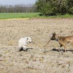 golden et berger qui jouent ensemble
