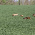Chiens courant dans les herbes