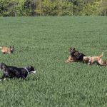 chiens qui jouent dans les hautes herbes