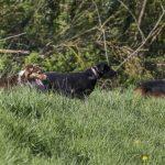 trois chiens jouent dans les hautes herbes