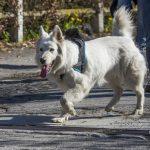 un chien avec son maître en balade canine