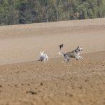 chiens qui jouent avec un oiseau