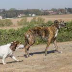 deux chiens en balade