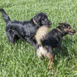 chiens dans les hautes herbes