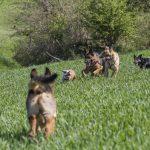 chiens qui jouent dans l'herbe