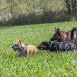 quatre chiens jouent ensemble