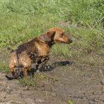 chien sortant d'une flaque d'eau