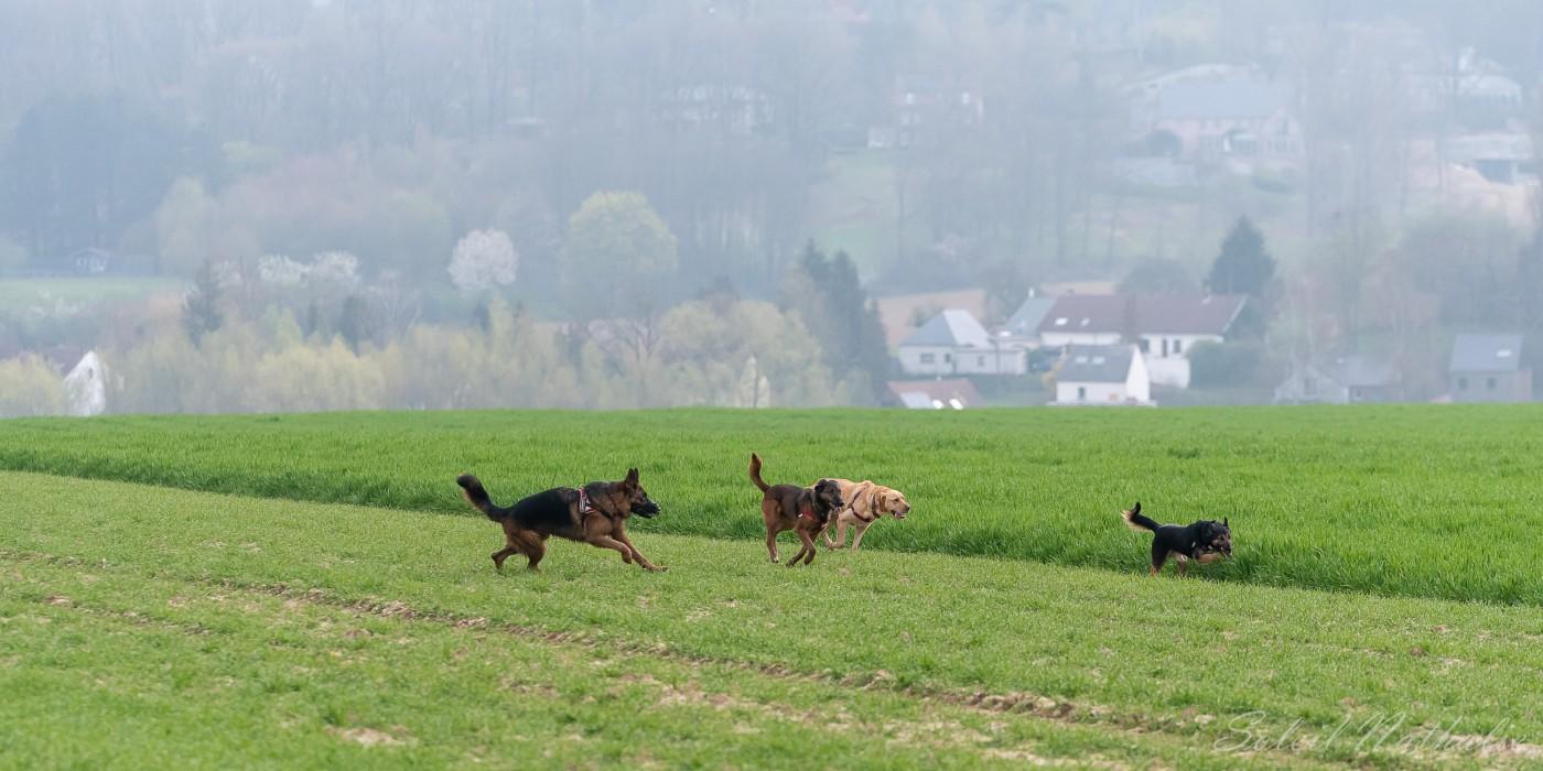 Troupe de chiens gambadant dans les champs
