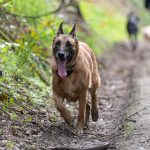 Malinois courant