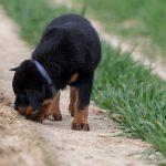 Rottweiler cherchant une piste
