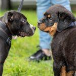 Chiot Rottweiler rencontre un congénère